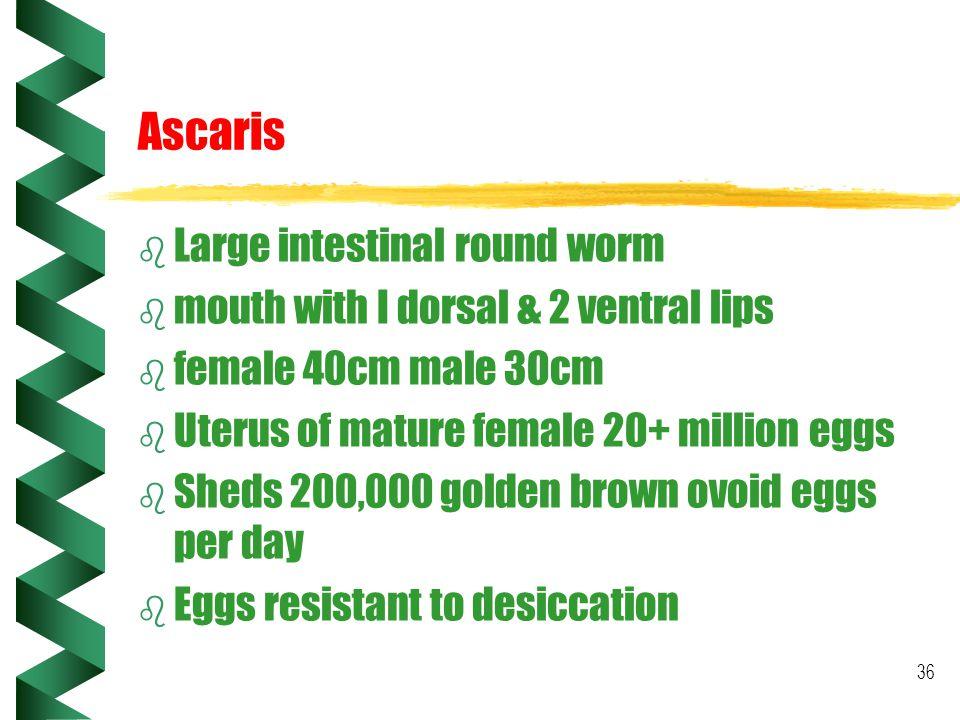 36 Ascaris b Large intestinal round worm b mouth with I dorsal & 2 ventral lips b female 40cm male 30cm b Uterus of mature female 20+ million eggs b S