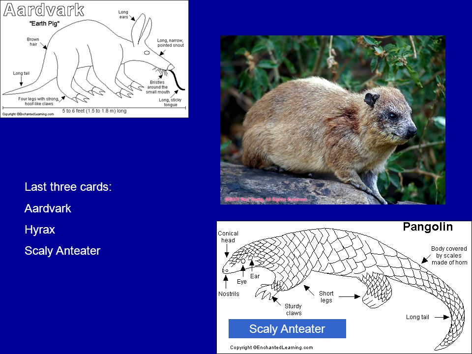 Scaly Anteater Last three cards: Aardvark Hyrax Scaly Anteater