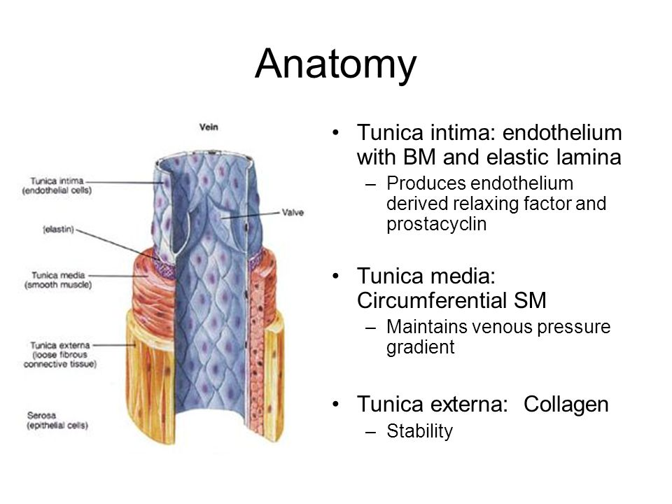 Anatomy Tunica intima: endothelium with BM and elastic lamina –Produces endothelium derived relaxing factor and prostacyclin Tunica media: Circumferen