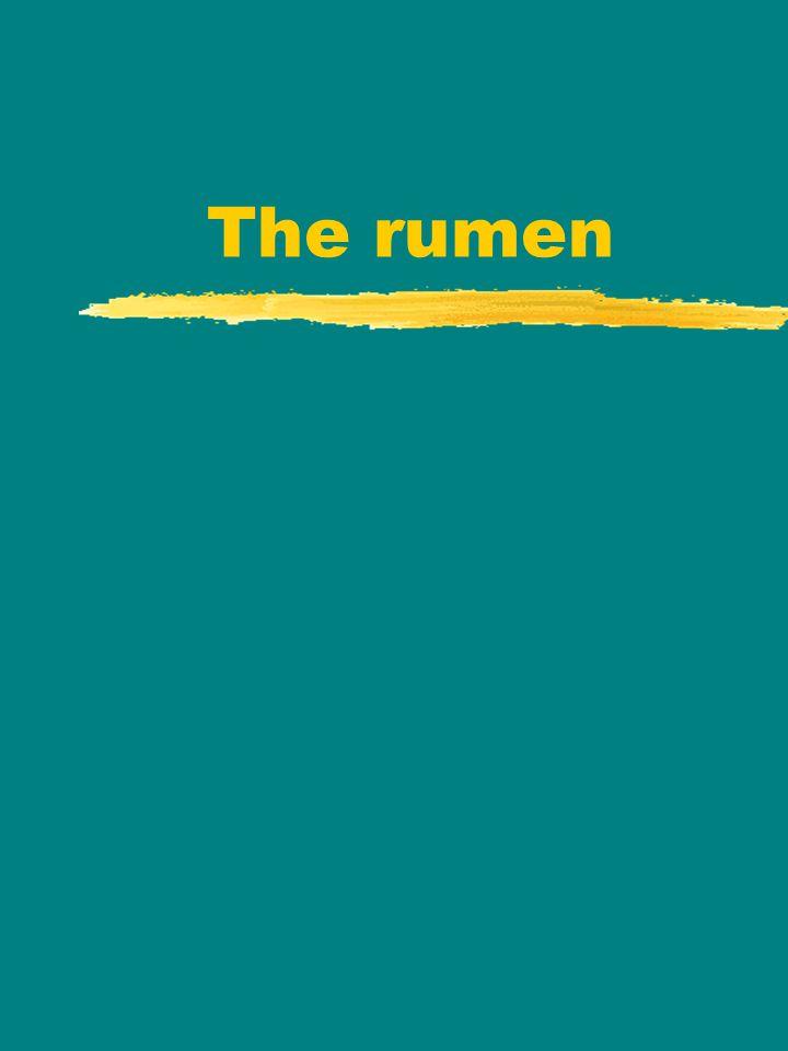 The rumen