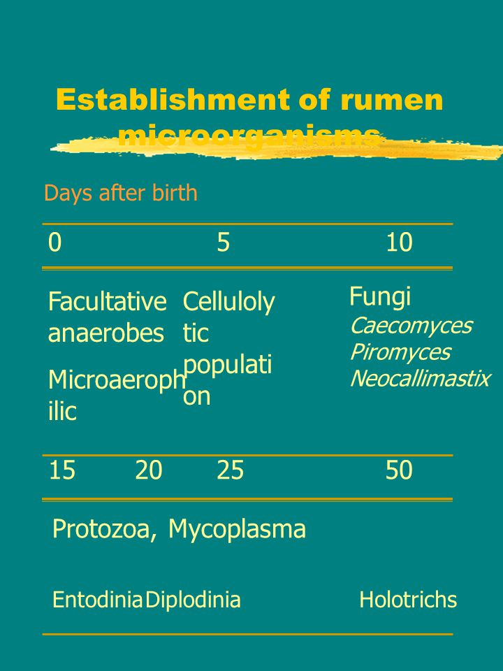 Establishment of rumen microorganisms 05 152025 10 Days after birth Facultative anaerobes Microaeroph ilic Celluloly tic populati on Fungi Caecomyces Piromyces Neocallimastix Protozoa, Mycoplasma EntodiniaDiplodiniaHolotrichs 50