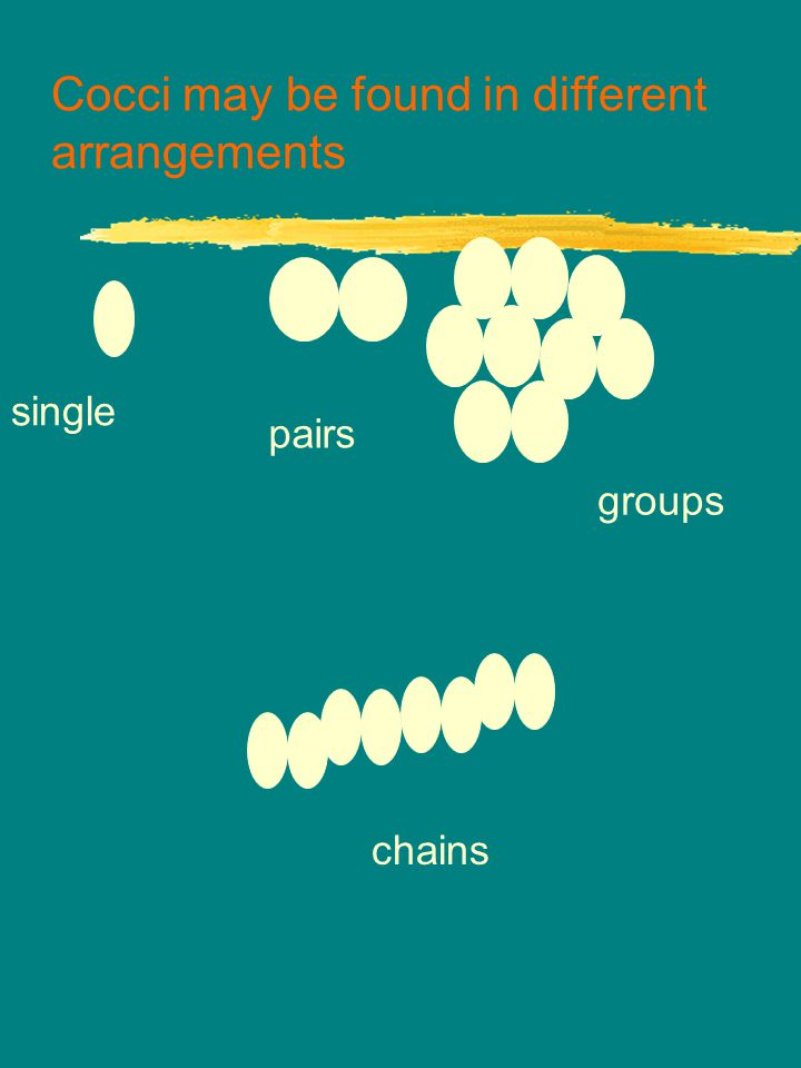 Cocci may be found in different arrangements single pairs groups chains