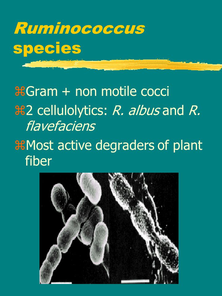 Ruminococcus species zGram + non motile cocci z2 cellulolytics: R.