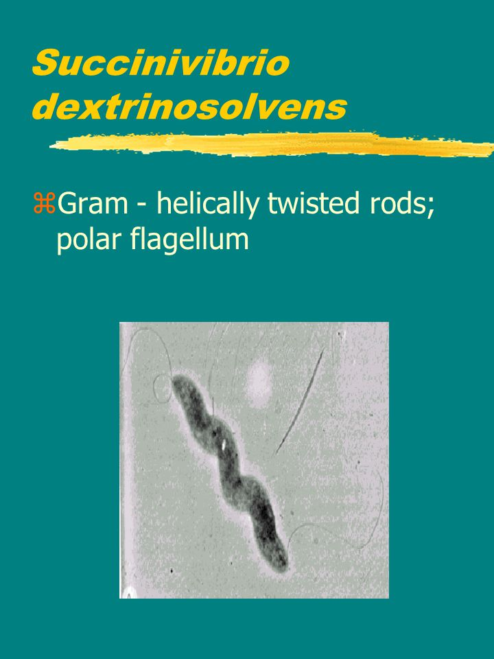 Succinivibrio dextrinosolvens zGram - helically twisted rods; polar flagellum