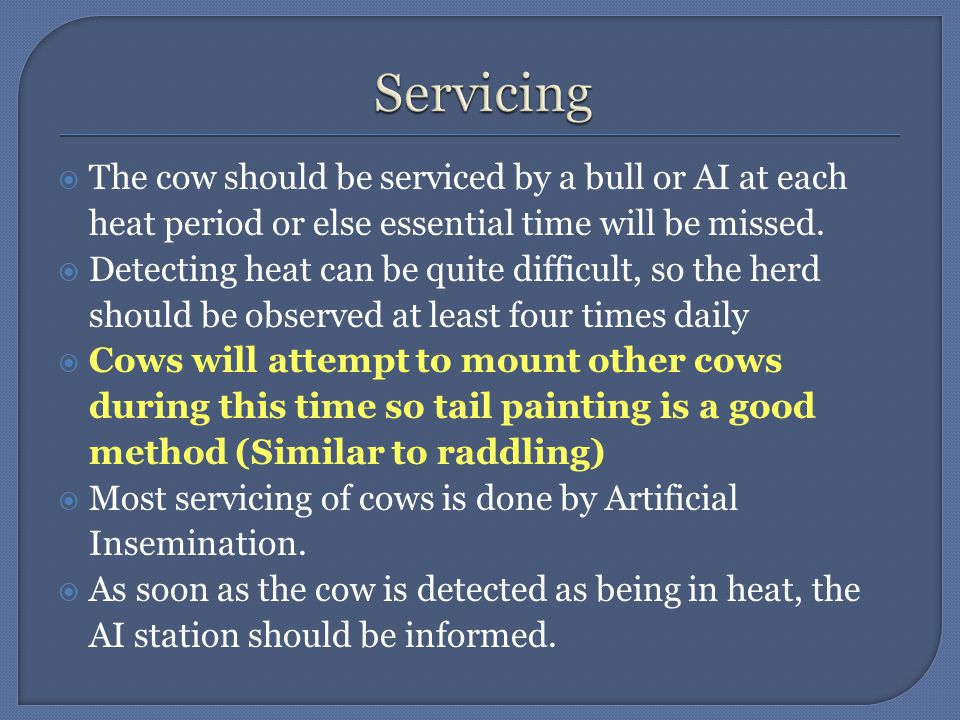  The cow should be serviced by a bull or AI at each heat period or else essential time will be missed.  Detecting heat can be quite difficult, so th