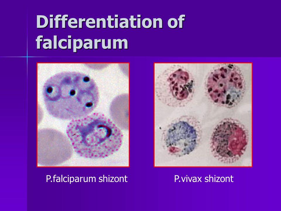 Differentiation of falciparum P.falciparum shizontP.vivax shizont