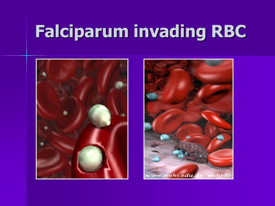 Falciparum invading RBC