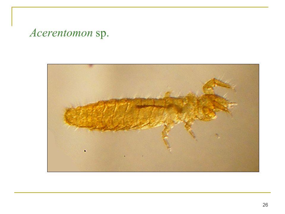26 Acerentomon sp.