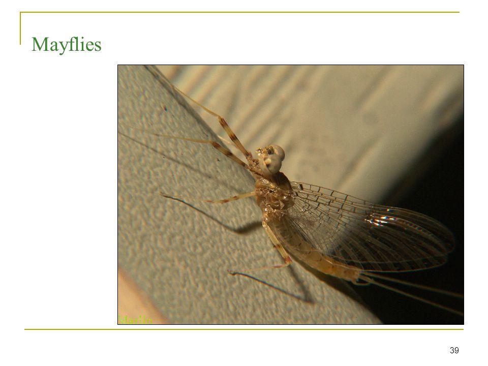 39 Mayflies