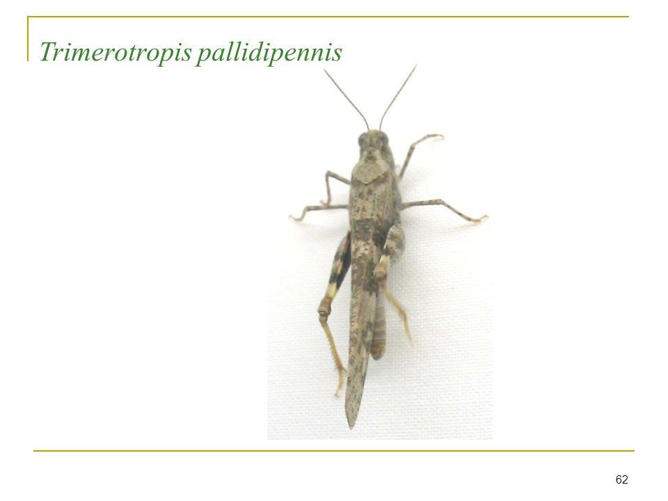 62 Trimerotropis pallidipennis