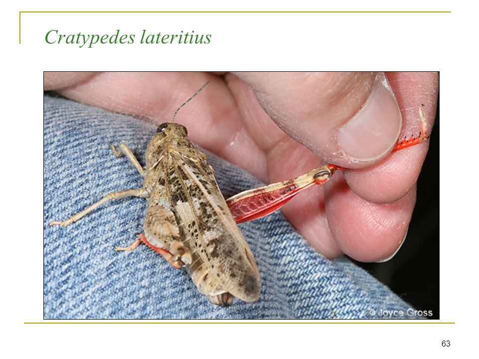63 Cratypedes lateritius