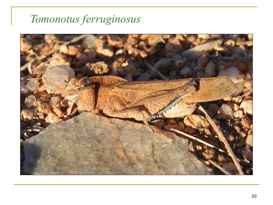 68 Tomonotus ferruginosus