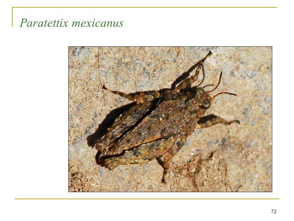 72 Paratettix mexicanus