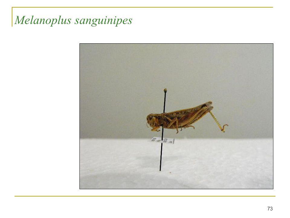 73 Melanoplus sanguinipes