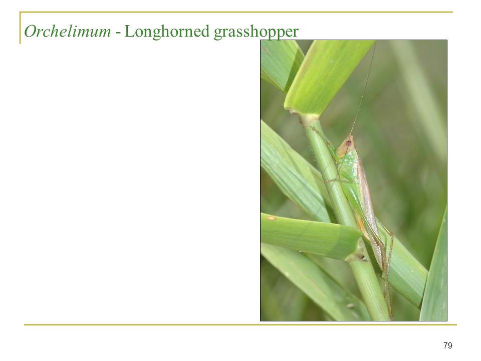 79 Longhorned grasshopper - Orchelimum