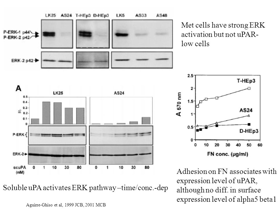 Met cells have strong ERK activation but not uPAR- low cells Soluble uPA activates ERK pathway –time/conc.-dep Adhesion on FN associates with expression level of uPAR, although no diff.