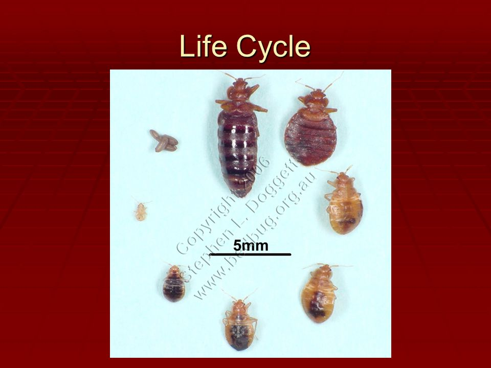 Life Stages Eggs  Survival Capsules  Laid in sheltered area  Hard to remove Nymphs  5 Instar Stages  Must feed to molt Adult  Live upto 2 years  10 BB's can become 15,000 in 4 months