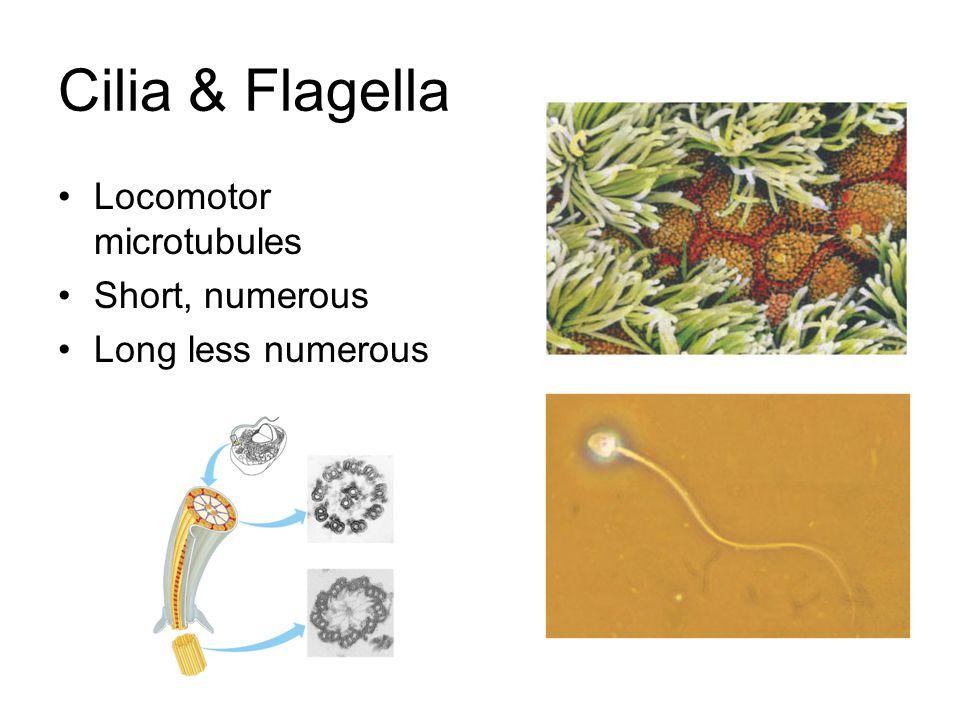 Cilia & Flagella Locomotor microtubules Short, numerous Long less numerous