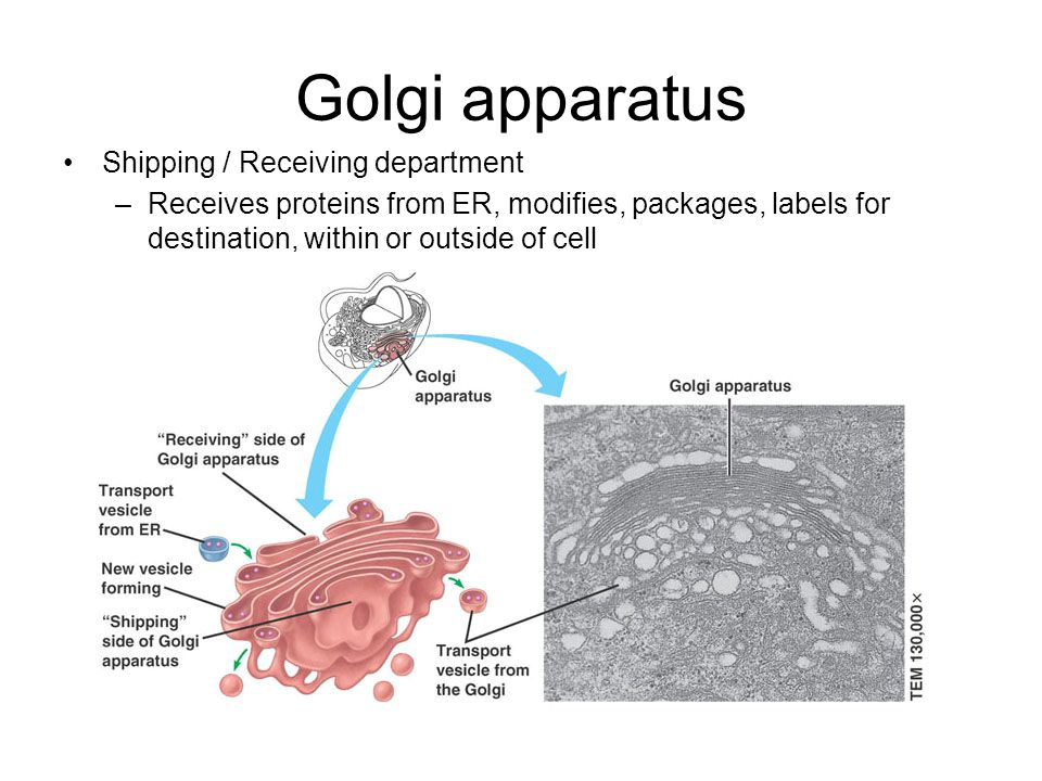 Golgi apparatus Shipping / Receiving department –Receives proteins from ER, modifies, packages, labels for destination, within or outside of cell