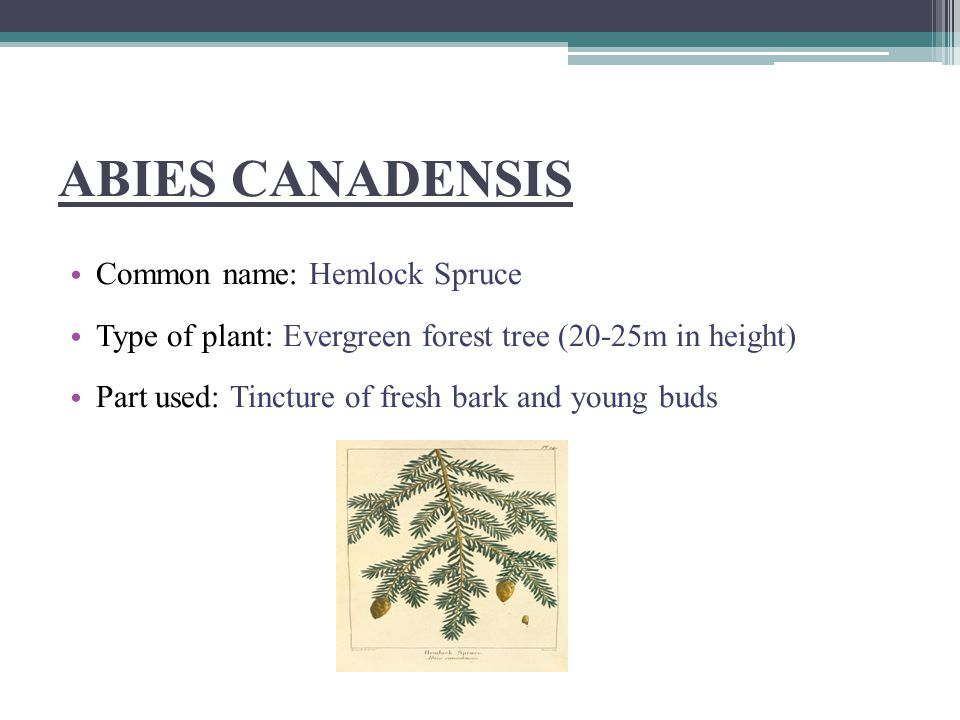 ABIES NIGRA Common name : Black spruce or Amber resin Part used : Tincture of gum