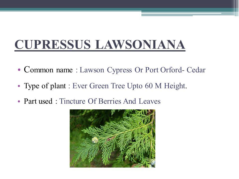 THUJA OCCIDENTALIS Common Name : American Arbor-vitae.