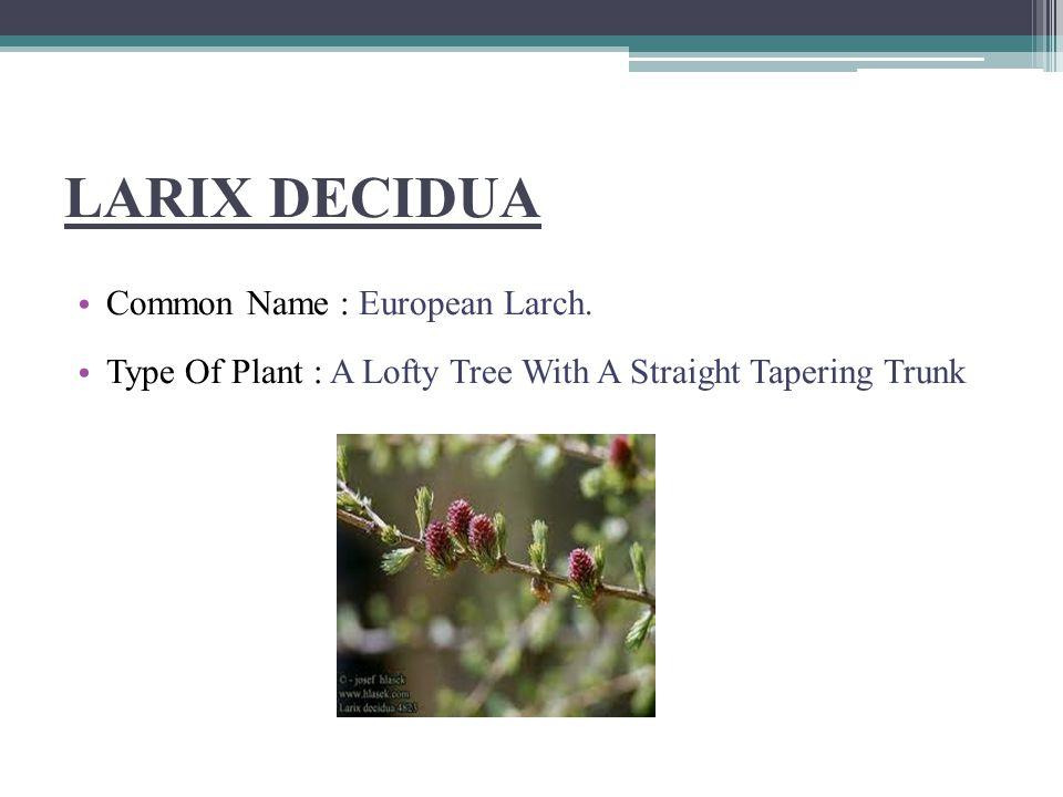 PINUS LAMBERTIANA Common name :Crude Turpentin Parts Used : Tincture Of Inspissated Sap, Resin