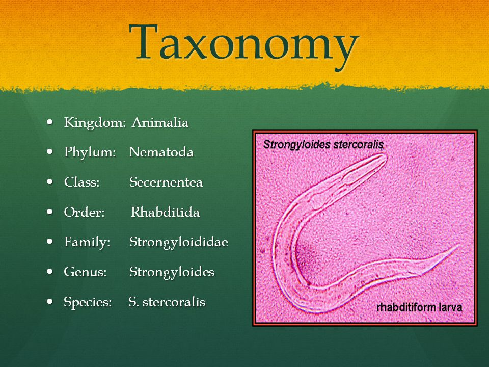 Taxonomy Kingdom: Animalia Kingdom: Animalia Phylum: Nematoda Phylum: Nematoda Class: Secernentea Class: Secernentea Order: Rhabditida Order: Rhabditida Family: Strongyloididae Family: Strongyloididae Genus: Strongyloides Genus: Strongyloides Species: S.