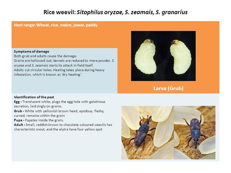Khapra Beetle: Trogoderma granarium Host range: Wheat, maize, jowar, rice, pulses, oil seeds and their cakes.