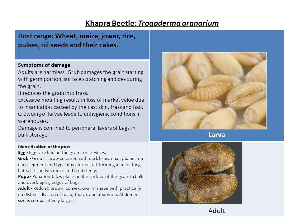 Lesser grain borer/Hooded grain borer/paddy borer beetle: Rhyzopertha dominica Host range: Paddy, rice, wheat, maize.