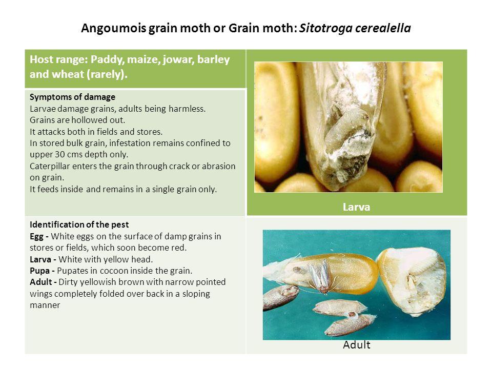 Tamarind/Peanut bruchid: Caryedon serratus Symptoms of damage:Grub causes the damage.