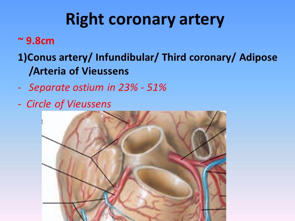 Right coronary artery ~ 9.8cm 1)Conus artery/ Infundibular/ Third coronary/ Adipose /Arteria of Vieussens -Separate ostium in 23% - 51% - Circle of Vi