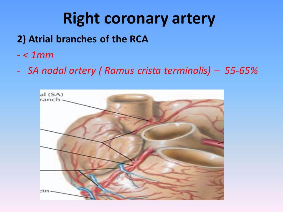 Right coronary artery 2) Atrial branches of the RCA - < 1mm -SA nodal artery ( Ramus crista terminalis) – 55-65%