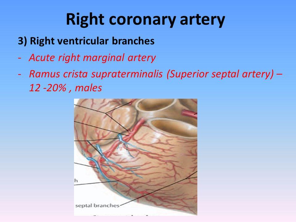 Right coronary artery 3) Right ventricular branches -Acute right marginal artery -Ramus crista supraterminalis (Superior septal artery) – 12 -20%, mal