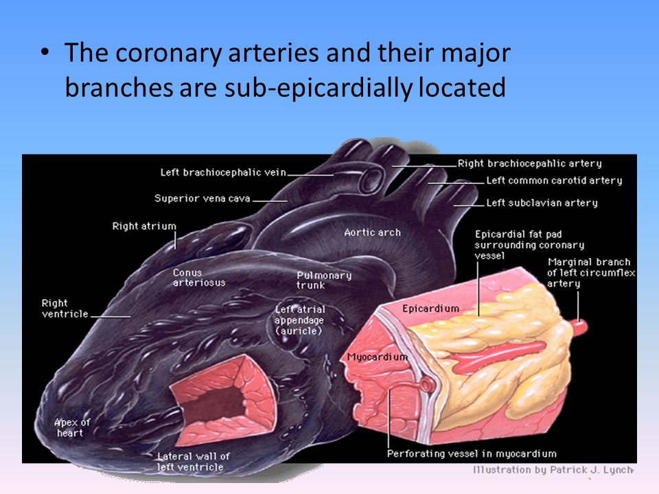 The coronary arteries and their major branches are sub-epicardially located
