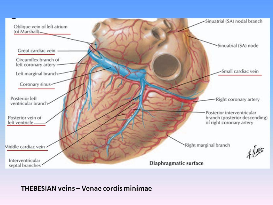 THEBESIAN veins – Venae cordis minimae