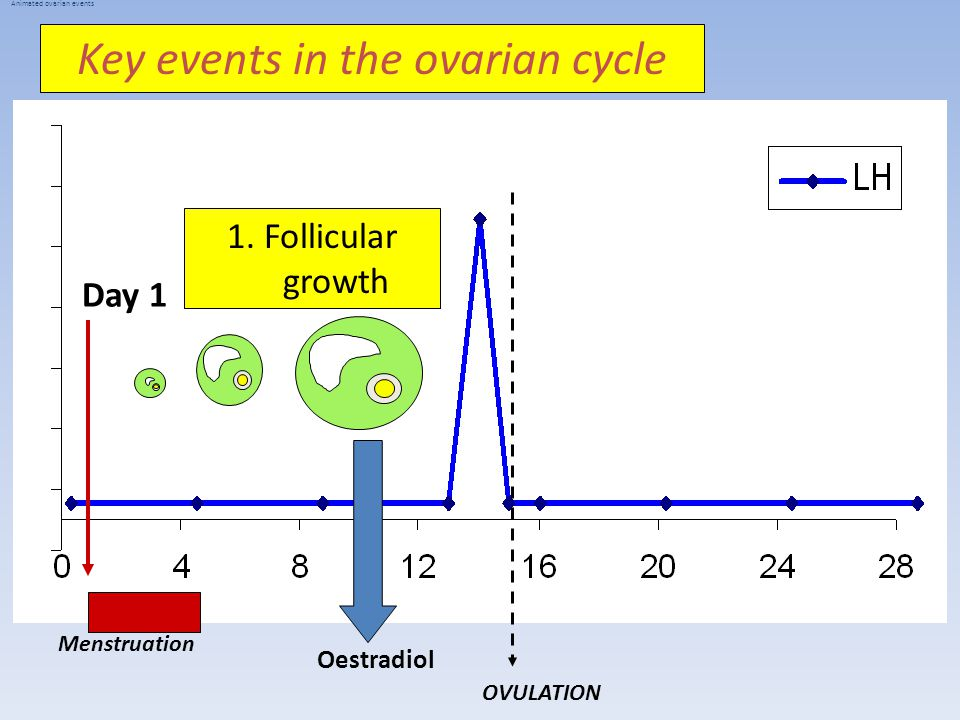 Day 1 Menstruation OVULATION Animated ovarian events Oestradiol 1.