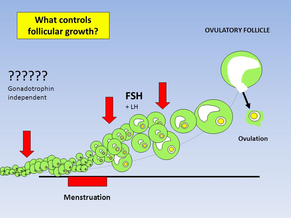 Menstruation Ovulation What controls follicular growth.