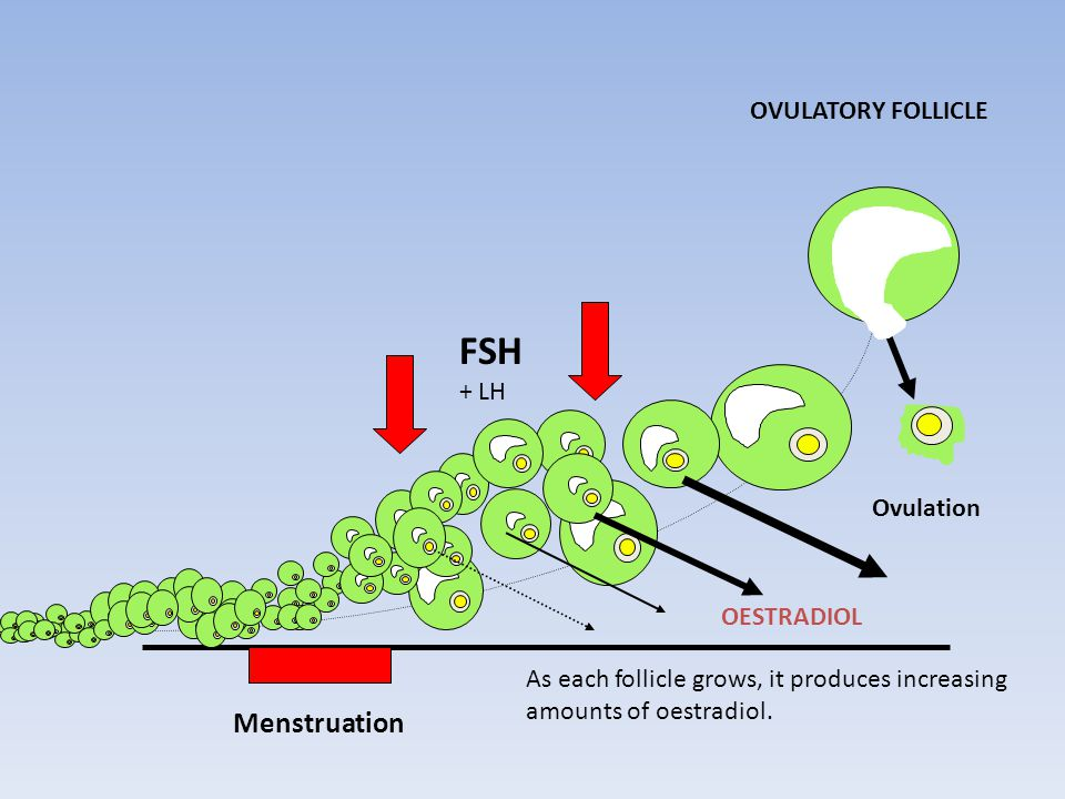 Menstruation Ovulation OVULATORY FOLLICLE As each follicle grows, it produces increasing amounts of oestradiol.