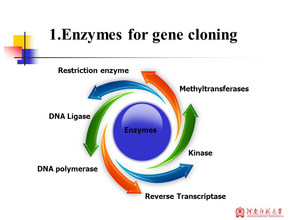 Concept : A restriction enzyme is an enzyme that cuts DNA at or near specific recognition nucleotide sequences known as restriction sites Enzymes for gene cloning Restriction enzyme