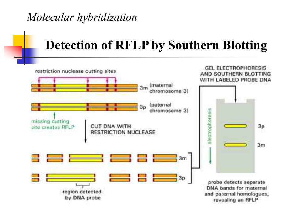 Molecular hybridization Detection of RFLP by Southern Blotting