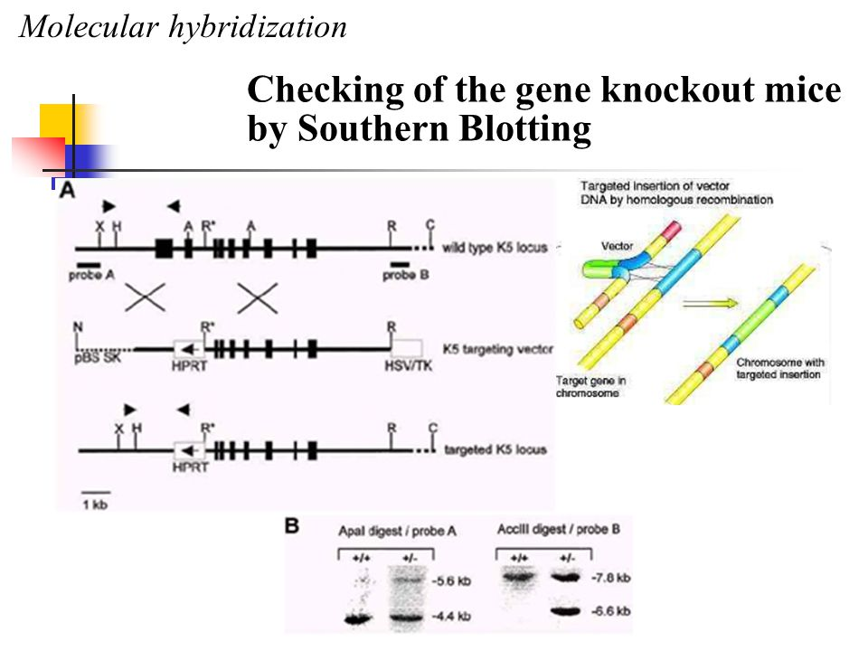 Molecular hybridization Checking of the gene knockout mice by Southern Blotting