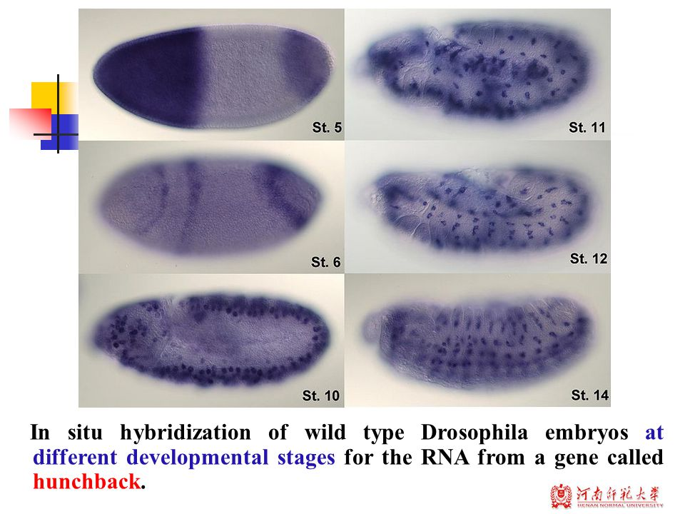In situ hybridization of wild type Drosophila embryos at different developmental stages for the RNA from a gene called hunchback.