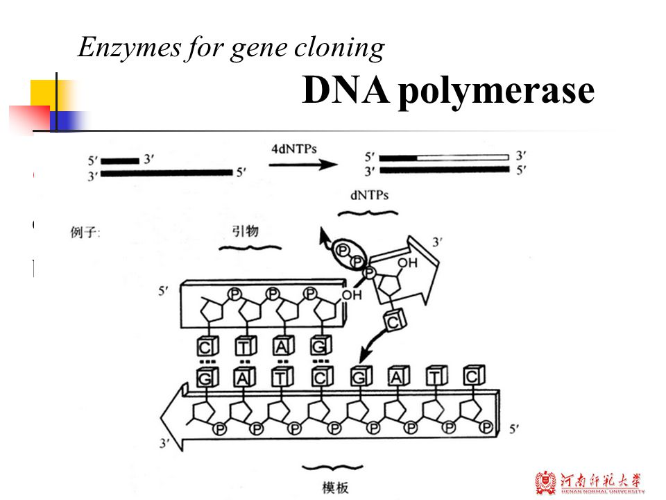 Concept : The DNA polymerases are enzymes that create DNA molecules by assembling nucleotides, the building blocks of DNA. Enzymes for gene cloning DN
