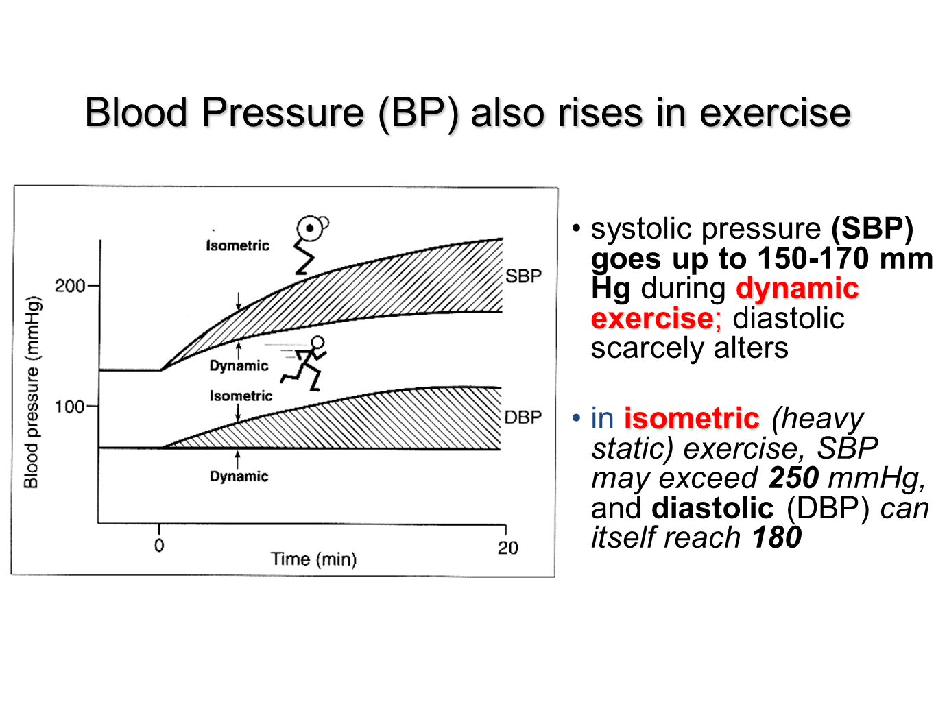 Blood Pressure (BP) also rises in exercise dynamic exercise;systolic pressure (SBP) goes up to 150-170 mm Hg during dynamic exercise; diastolic scarce