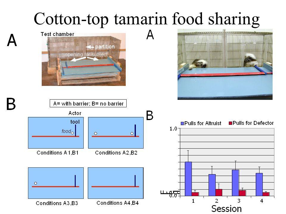 Cotton-top tamarin food sharing