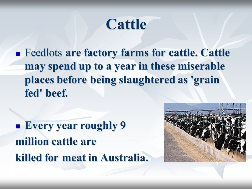 Cattle Feedlots are factory farms for cattle.