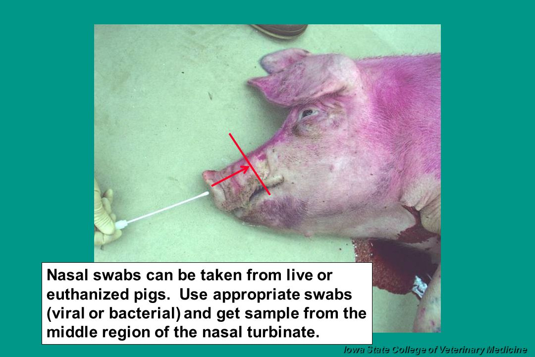 Nasal swabs can be taken from live or euthanized pigs.