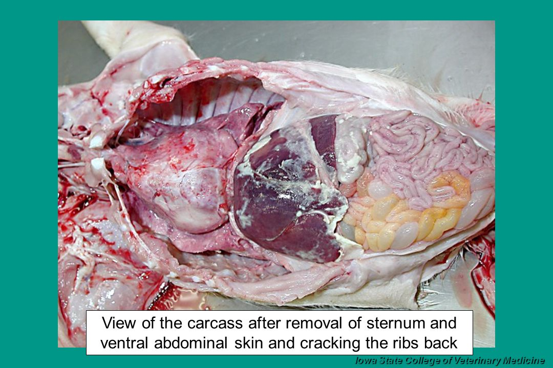 View of the carcass after removal of sternum and ventral abdominal skin and cracking the ribs back Iowa State College of Veterinary Medicine