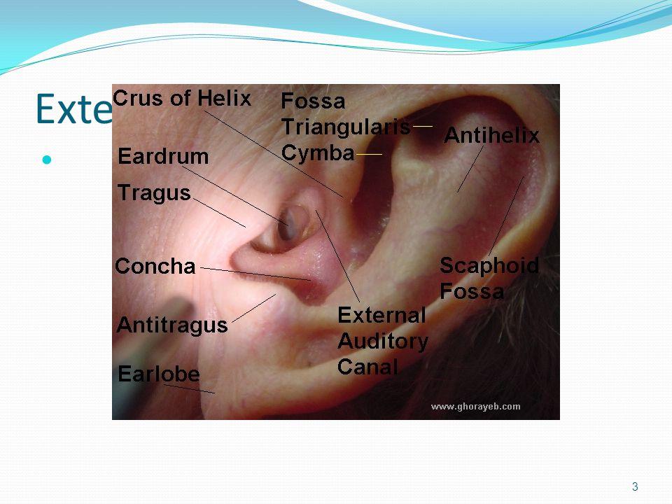 External Ear 3