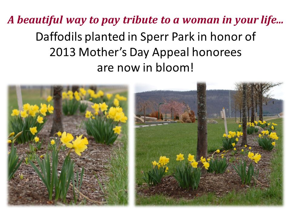 A beautiful way to pay tribute to a woman in your life... Daffodils planted in Sperr Park in honor of 2013 Mother's Day Appeal honorees are now in blo